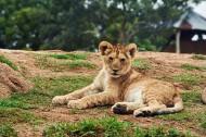 可爱的小狮子图片_13张