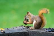 可爱的小松鼠图片_13张