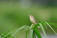 小小的柳莺图片_23张