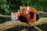 树干上的小熊猫图片_14张