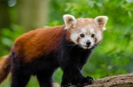 野生的小熊猫图片_12张