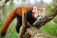 褐红色的小熊猫图片_14张