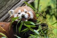 正在吃竹叶的小熊猫图片_12张