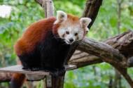 树干上的小熊猫图片_11张