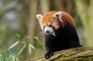 野生的小熊猫图片_13张