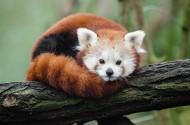 树干上的小熊猫图片_13张