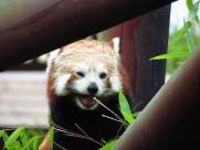 活泼可爱的小熊猫图片_13张
