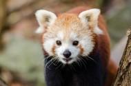 活泼可爱的小熊猫图片_14张