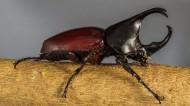 力大年夜惊人的犀牛甲虫图片_15张