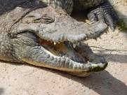 凶狠的鳄鱼图片_14张