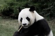 可爱的熊猫图片_14张
