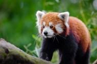 可爱的小熊猫图片_9张