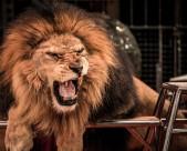 凶猛的狮子图片_12张