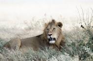 凶猛的野外雄狮图片_10张