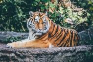 凶猛残酷的老虎图片_10张