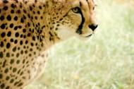 凶猛的猎豹图片_10张