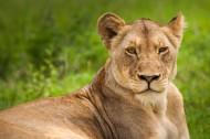 雄壮的母狮图片_13张