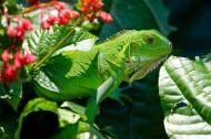 綠色蜥蜴圖片_15張