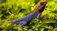 顏色鮮艷的蜥蜴圖片_17張