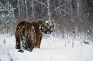 雪地里的老虎图片_6张
