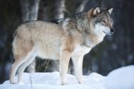 雪地里的狼图片_9张