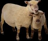 羊族透明背景PNG图片_15张