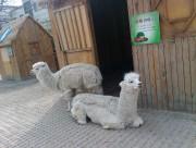 动物园里的羊驼图片_10张