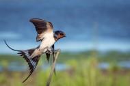 黑色可爱的燕子图片_12张