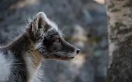 遥望远方的狐狸图片_16张