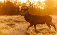野生动物麋鹿图片_6张
