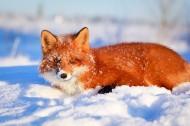 野外狐狸图片_19张