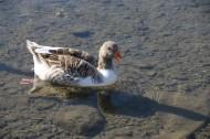 水中游泳的野鸭图片_10张