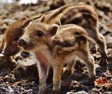 可爱的小野猪图片_14张