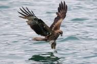 码头上空的鹰图片_11张