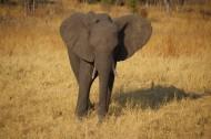 一頭野生大象圖片_16張