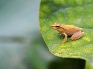 慵懒的树蛙图片_9张