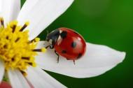 植物上的七星瓢虫图片_12张