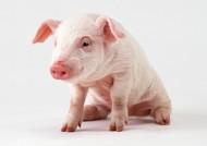 猪图片_14张