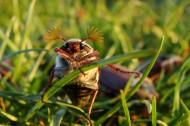 害蟲之棕色鰓金龜圖片_15張