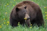 體型龐大的野生棕熊圖片_10張