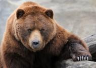 棕熊图片_13张
