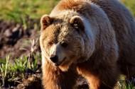 体型庞大的棕熊图片_12张