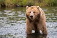 體型龐大的棕熊圖片_10張
