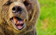体形巨大的棕熊图片_15张