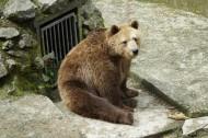體型龐大的棕熊圖片_15張
