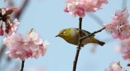 樱花树上的绣眼鸟图片_11张