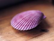 貝殼圖片_35張