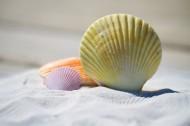 精致漂亮的贝壳图片_12张