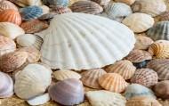 漂亮的贝壳图片_15张
