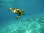 海洋里的海龟图片_11张